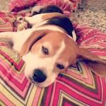 Vale The Beagle